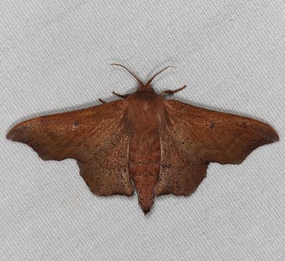 7659 Scalloped Sack-bearer Moth Silver Lake Cypress Glenn Fl 3-19-15