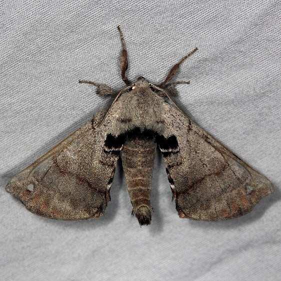 7663 Spotted Apatelodes Moth Burr Oak St Pk at lodge Oh 6-28-14
