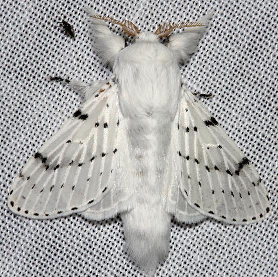 7683 Dot-lined White Moth Hidden Lake Everglades Natl Pk 3-9-13