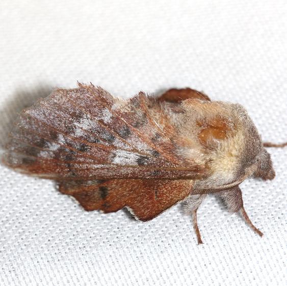 7687 American Lappet Moth Thunder Lake UP Mich 6-23-12