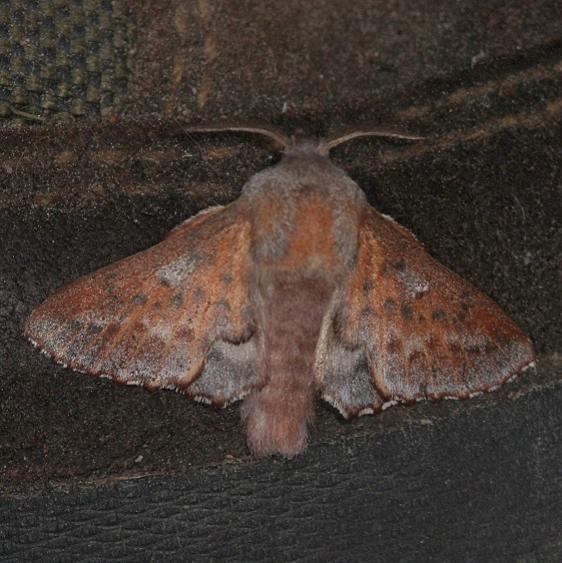 7687 American Lappet Moth Thunder Lake UP Mich 6-21-14