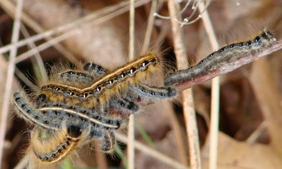 7701 Eastern Tent Caterpillar Dorr Run Oh 5-2-09