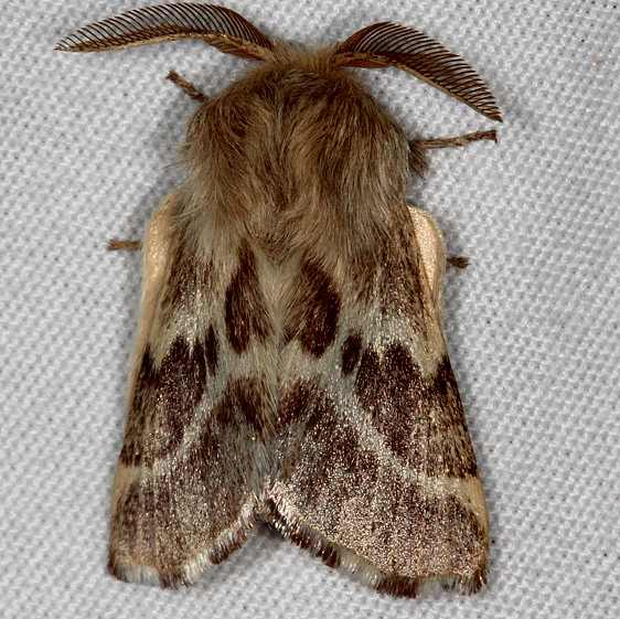 7703 Southwest Tent Caterpillar Moth White House campground Grand Staircase Escalnte Utah 5-25-17 (12)_opt