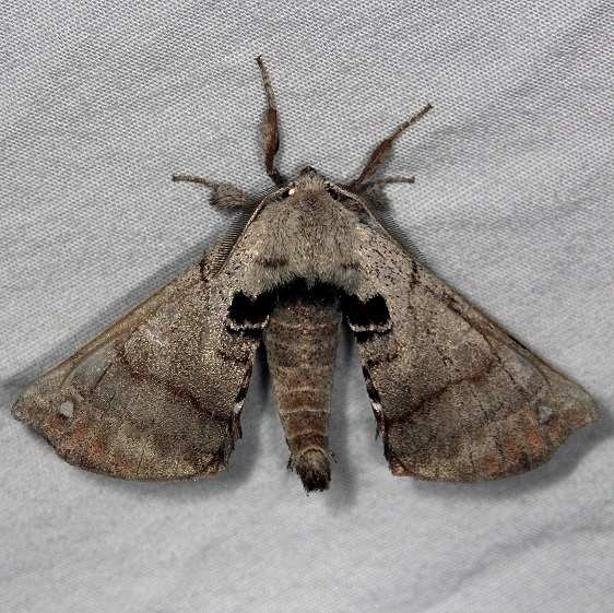 7663 Spotted Apatelodes Moth Burr Oak St Pk at lodge Oh 6-28-14