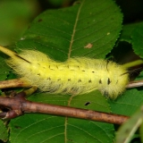 7663 Spotted Apatelodes Wolf Run Park Knox Co Oh 9-22-14