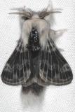 7673 Larch Tolype Moth yard 7-12-15