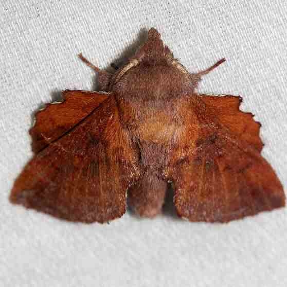 7686 Southern Lappet Moth Little Talbot Island St Pk 2-21-13