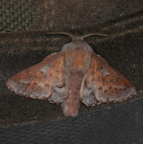 7687 American Lappet Moth Thunder Lake UP Mich 6-21-14
