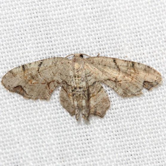 7650 Gray Scoopwing Moth Thunder Lake 6-23-12
