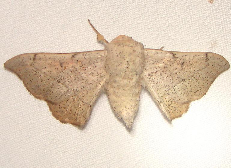 7662 Melsheimer's Sack-bearer Moth Kissimmee Prairie St Pk 3-8-12
