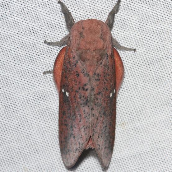 7709 Honey Locust Moth yard 5-11-12