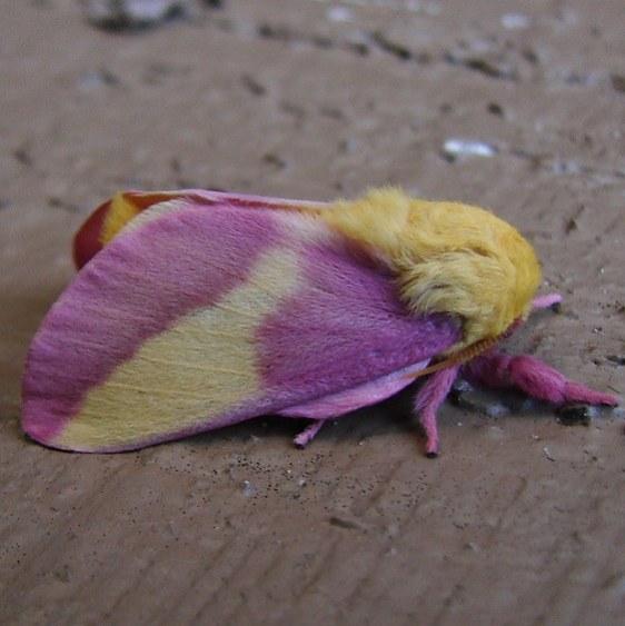 7715 Rosy Maple Moth Cypress Glenn Campground Fl 3-7-10