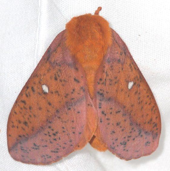 7716 Spiny Oakworm Moth Mothapalooza Shawnee St Forest Oh 7-7-17 (99)_opt