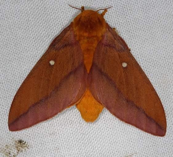 7723 Anisota virginiensis Collier Seminole St Pk 3-2-14
