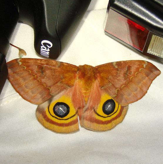 7746 Io Moth Jenny Wiley Ky 4-26-12