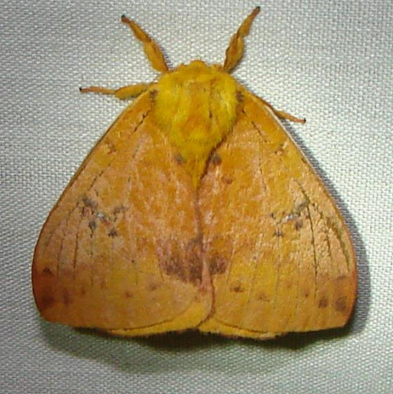 7746 Io Moth Rowdy Bend Trail Everglades 3-3-12