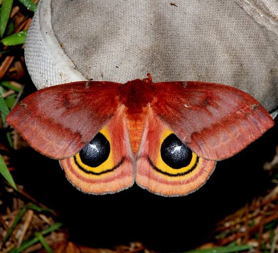 7746 Io Moth female Osceola Natl Frt Ocean Pond Fl 3-24-15