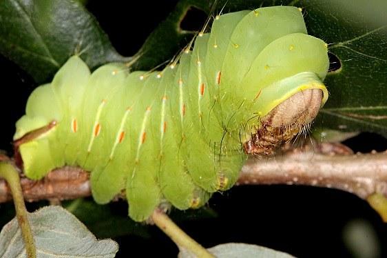 7757 Polythemus caterpillar on Burr Oak in yard 9-1-14_opt