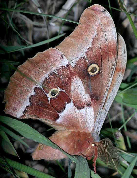 7757.1 Western Polyphemus Moth Black Canyon at the Gunnison Natl Pk Colorado 6-13-17 (29)_opt