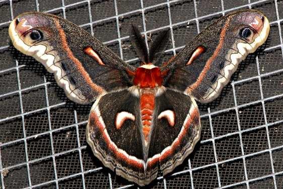 7767 Cecropia Moth Osceola Natl Frt Ocean Pond 3-24-15