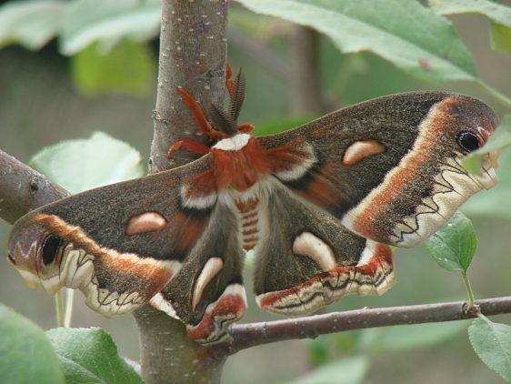 7767 Cecropia moth newly emerged yard 6-28-07 (6)_opt