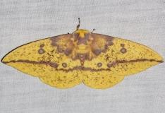 7704 Imperial Moth yard 7-28-13
