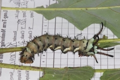 7706 Hickory Horned Devil Ancient Trail Darby Matro 8-30-16_opt
