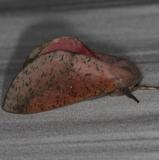 7709 Honey Locust Moth yard 6-7-14