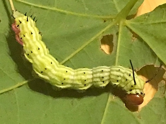 7715 Rosy Maple Caterpillar Pike Oh 8-25-17_opt