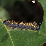 7719 Orange Striped Oakworm Moth Clearcreek Metro butterfly transect 9-4-15