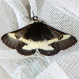 7730 Buck Moth male Clearcreek Metro Park Oh 10-30-08