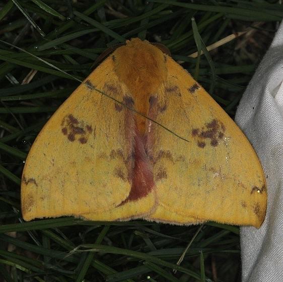 7746 Io Moth yard 7-2-14