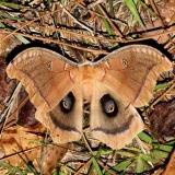 7757 Polyphemus Moth Ocean Pond Osceolo Natl Frst 3-25-15