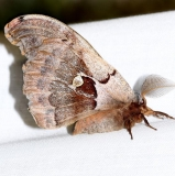 7757 Polythemus Moth Thunder Lake UP Mich 6-23-12