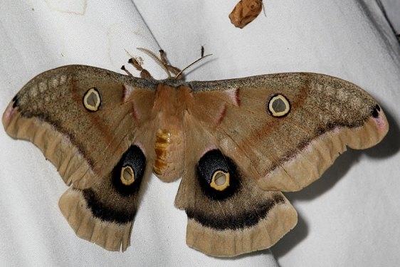 7757 Polythemus Moth yard 5-27-15 (4)_opt