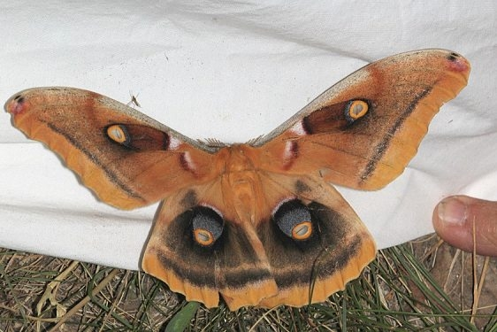 7757.1 Western Polyphemus Moth Black Canyon at the Gunnison Natl Pk Colorado 6-13-17 (30)_opt