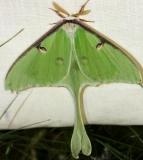 7758 Luna Moth Thunder Lake UP Mich 6-23-12