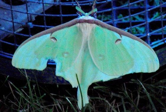 7758 Luna Moth yard 8-1-08_opt