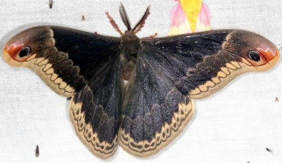 7764 Promethia Moth Thunder Lake Mich UP 6-24-13