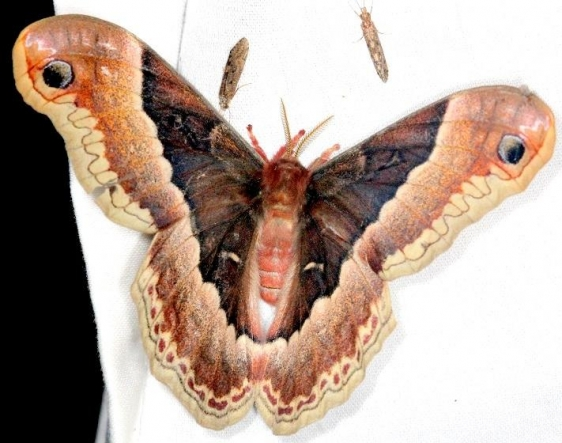 7764 Promethia Moth female Moth Thunder Lake Mich UP 6-24-13