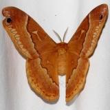 7765 Tulip-tree Silkworm Moth Ocean Pond Osceolo Natl Frst 3-25-15