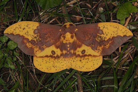 7704 Imperial Moth yard 7-10-15