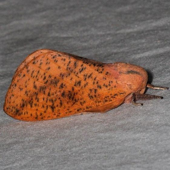 7709 Honey Locust Moth without white marks yard 8-13-15