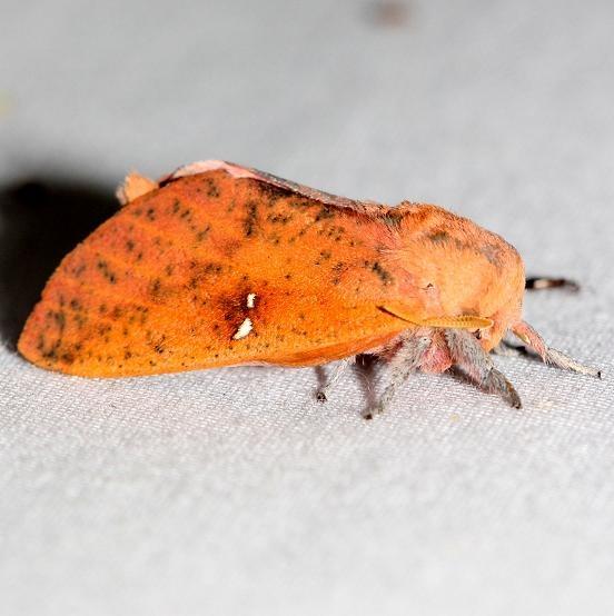 7709 Honey Locust Moth yard 7-25-12