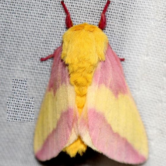 7715 Rosy Maple Moth Thunder Lake UP Mich 6-23-12