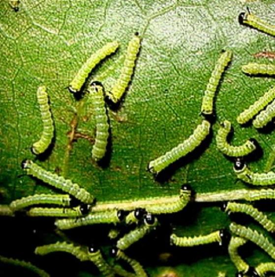 7719 Orange Tipped Oakworm Moth caterpillers Oak Openings Oh 7-16-11