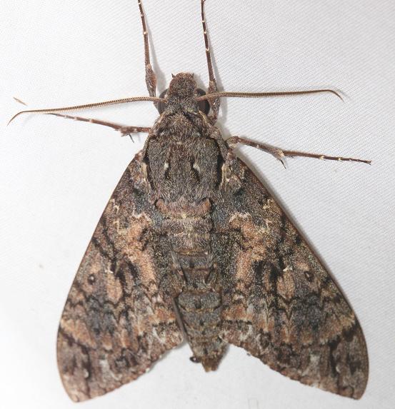 7772 Giant Sphinx Moth Everglade Natl Pk Nike Missle Rd 3-5-13