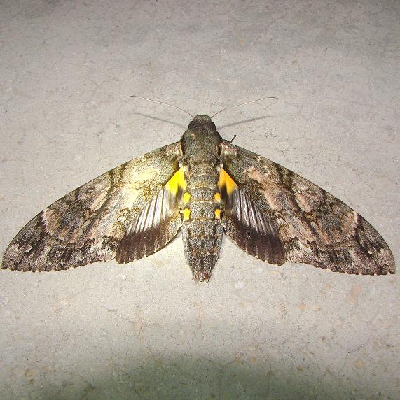 7772 Giant Sphinx Moth Royal Palm Everglades 2-26-12