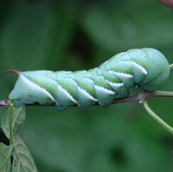 7775 Tobacco Hornworm (Carolina Sphinx) yard 8-24-06