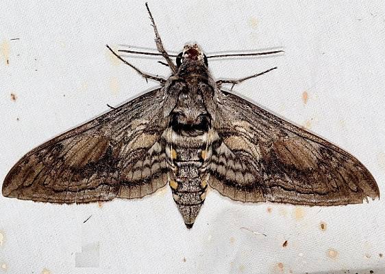 7776 Five-spotted Hawk Moth Campsite 119 Falcon St Pk Texas 10-26-16_opt